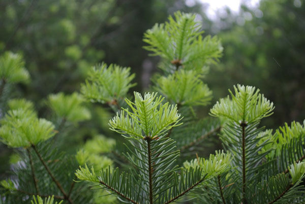 abies_lasiocarpa_-_Vilmorin_-_Cork_bark_fir