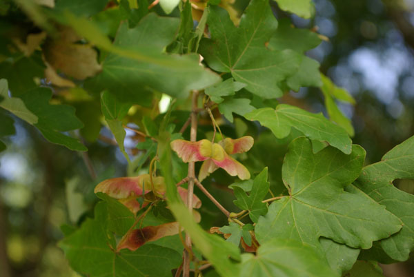 acer_campestre_-_Vilmorin_-_Field_maple