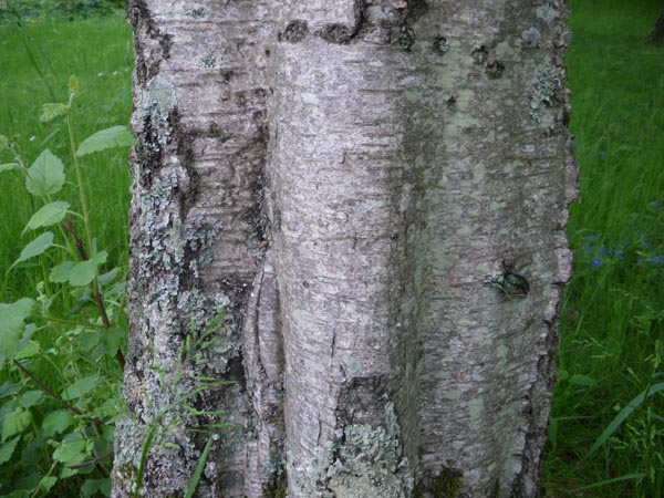 betula_pubescens_-_Vilmorin_-_Downy_birch