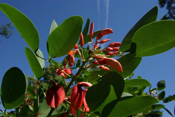 erythrina_crista-galli_-_Vilmorin_-_Cocks_spur_coral_tree