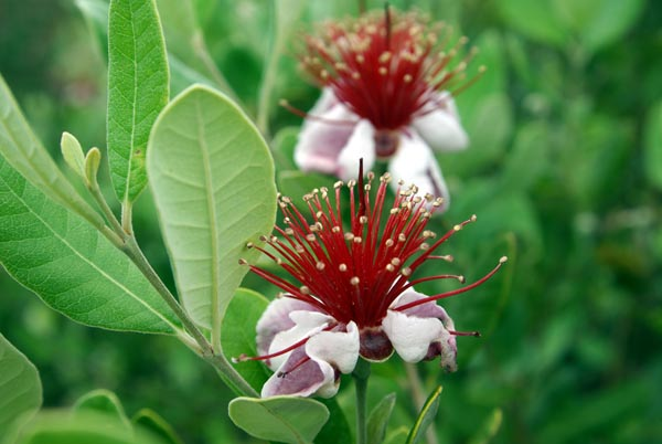 feijoa_sellowiana_-_Vilmorin_-_Pineapple_guava